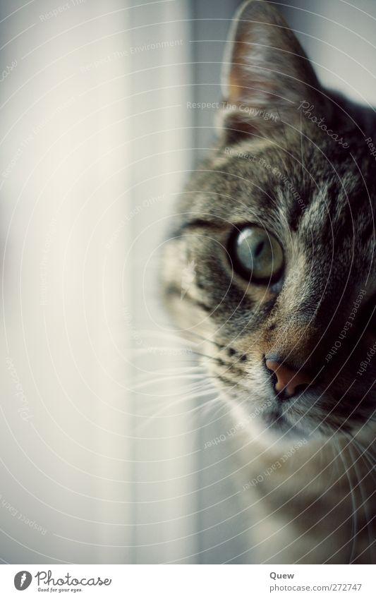 Cat Animal Gray Cute Observe Curiosity Animal face Serene Pet Interest Whisker Cat eyes Cat's head