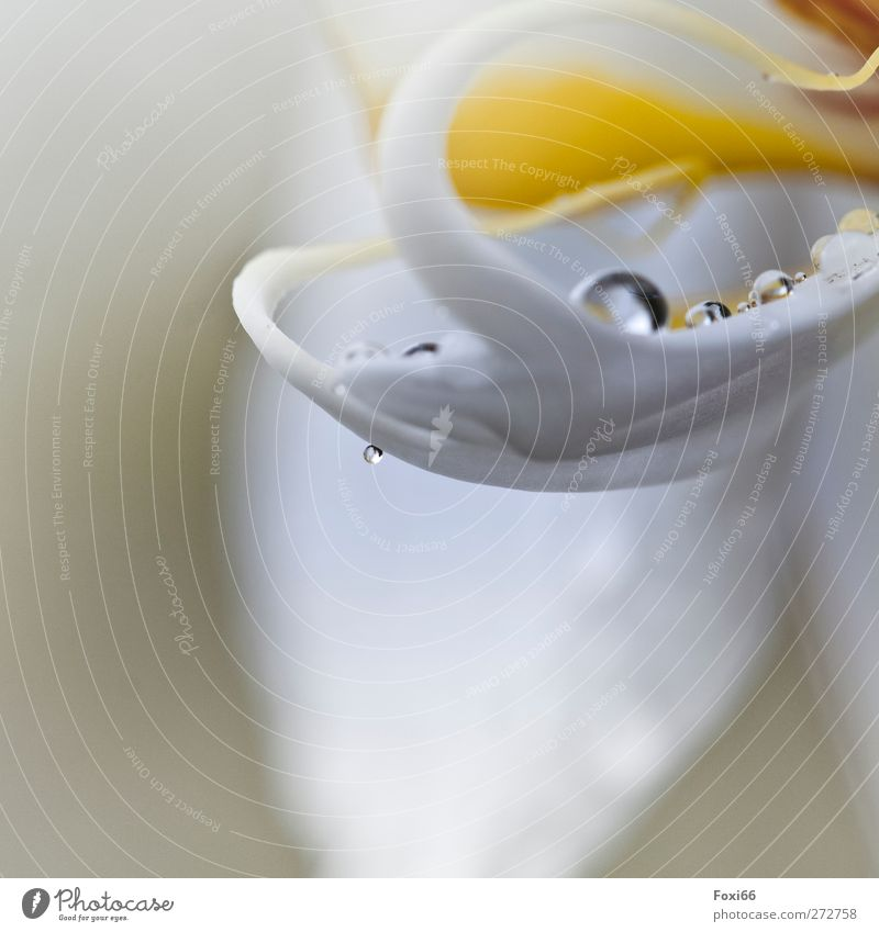 *¶ 100 ¶ that tickles the tongue ¶ Nature Air Water Drops of water Spring Rain Orchid Pot plant Blossom Blossom leave Goblet Fluid Fresh Cold Beautiful Yellow
