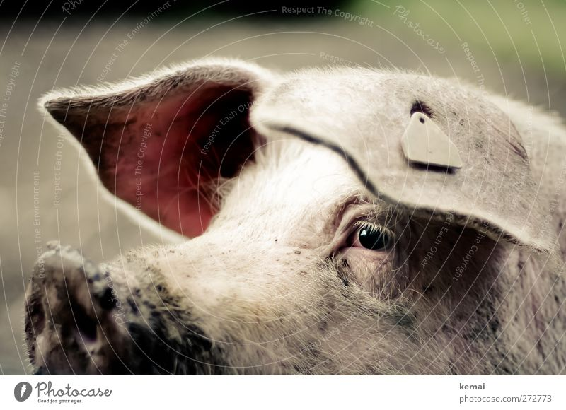 Animal Eyes Dirty Ear Agriculture Animal face Watchfulness Swine Snout Farm animal Livestock Pigs