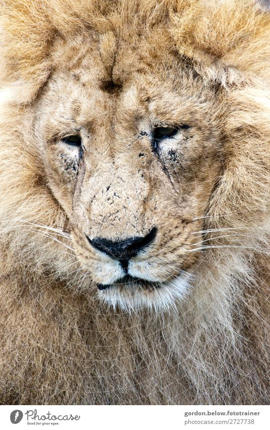 # King of the savannah Nature Animal Wild animal Lion 1 Observe To enjoy Listening Large Muscular Blue Brown Gold Gray Black Silver White Contentment Bravery