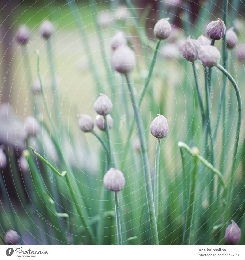 ooOo Herbs and spices Chives Onion Nature Plant Foliage plant Garden Natural Green Violet Colour photo Subdued colour Exterior shot Close-up Detail Deserted