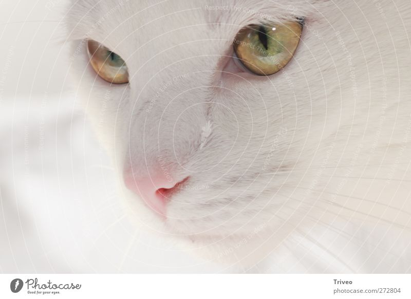 Beautiful Animal Pet Cat Animal face 1 Emotions Trust Safety Loyal Warm-heartedness Sympathy Friendship Love of animals Peaceful Watchfulness Patient Calm