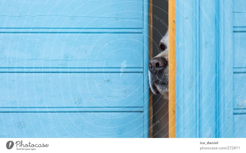 sniff out a little curious Lifestyle Facade Animal Pet Dog Labrador Animal face Snout Nose Nostril 1 Fragrance Dream Simple Elegant Curiosity Smart Blue Yellow