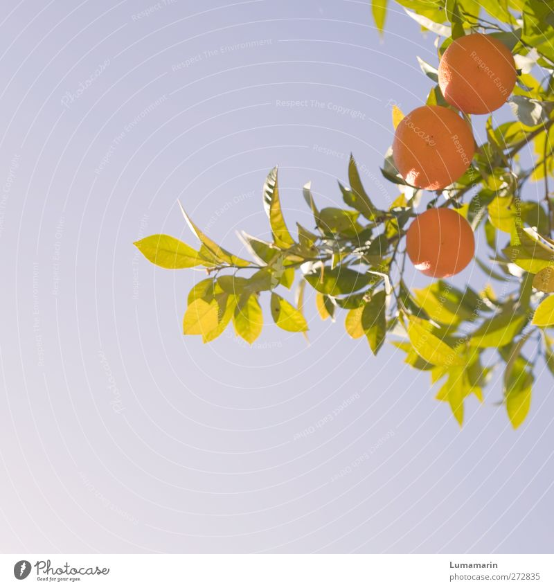haute cuisine Fruit Orange Nutrition Organic produce Healthy Healthy Eating Vacation & Travel Environment Nature Plant Cloudless sky Summer Beautiful weather