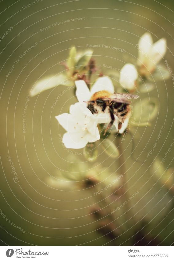 Nature Plant Flower Animal Leaf Environment Yellow Spring Blossom Wing Dive Candy Hang Bumble bee Sprinkle Greeny-yellow