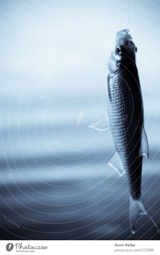 Blue Death Air Healthy Flying Fresh Elements Fish Transience Longing Catch Turquoise Hunting Pain Fishing (Angle) To feed