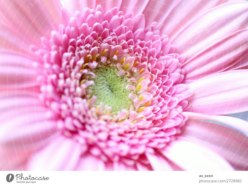 Pink Gerbera Life Harmonious Fragrance Valentine's Day Wedding Birthday Gardening Floristry Environment Nature Plant Spring Summer Flower Blossom Blossoming