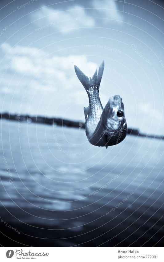 Winch in blue Fish Jump Water Snapshot Monochrome Lake 1 Individual Animal face Fish eyes Fish head Tail fluke Colour photo Subdued colour Exterior shot