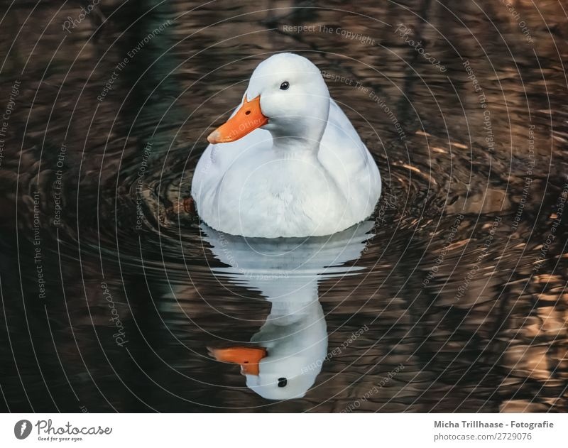 White duck with mirror image Nature Animal Water Sunlight Beautiful weather Pond Lake Brook Wild animal Bird Animal face Wing Mallard Duck Beak Feather Eyes 1