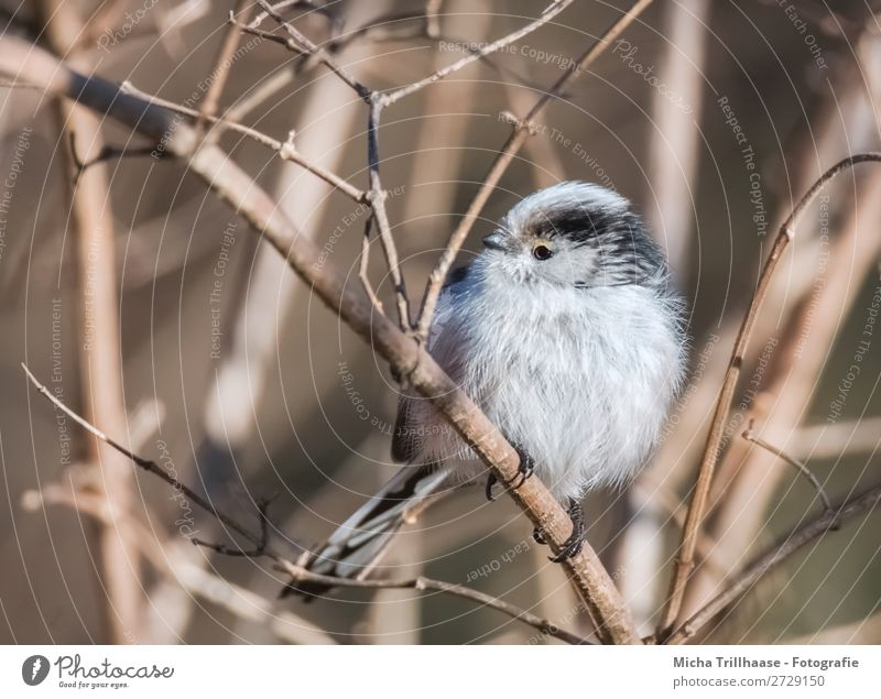 Long-tailed tit on a twig Nature Animal Sun Sunlight Beautiful weather Bushes Twigs and branches Wild animal Bird Animal face Wing Claw Long-tailed Tit