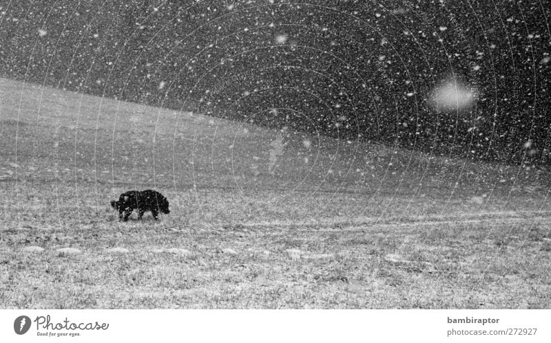 snow flurries Environment Nature Landscape Climate Weather Bad weather Ice Frost Snow Snowfall Grass Animal Pet Dog 1 Cold Loneliness Snowflake Analog