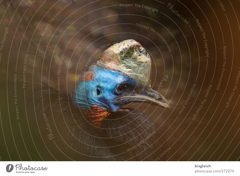 Red-collared Cassowary Animal Bird Animal face Zoo 1 Looking Sit Beautiful Blue Gold Colour photo Multicoloured Exterior shot Deserted Copy Space left