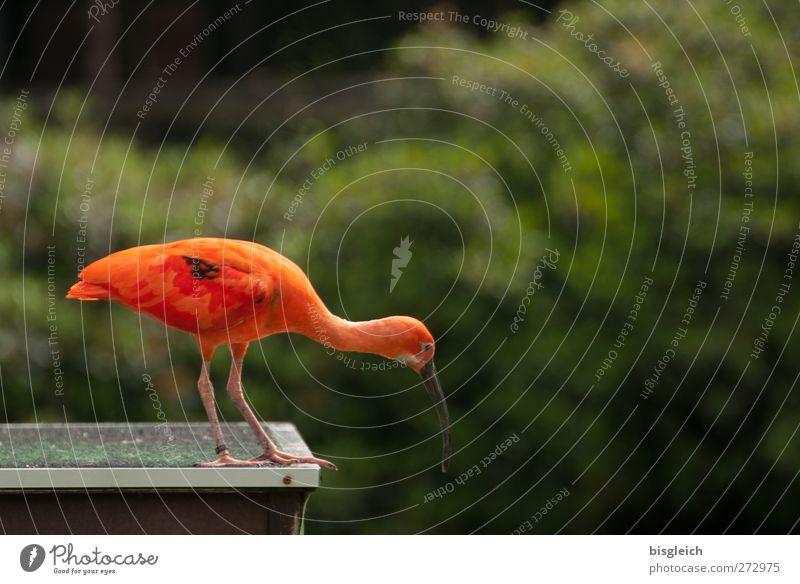 Green Red Animal Bird Orange Stand Curiosity Watchfulness Attentive Glossy Ibis