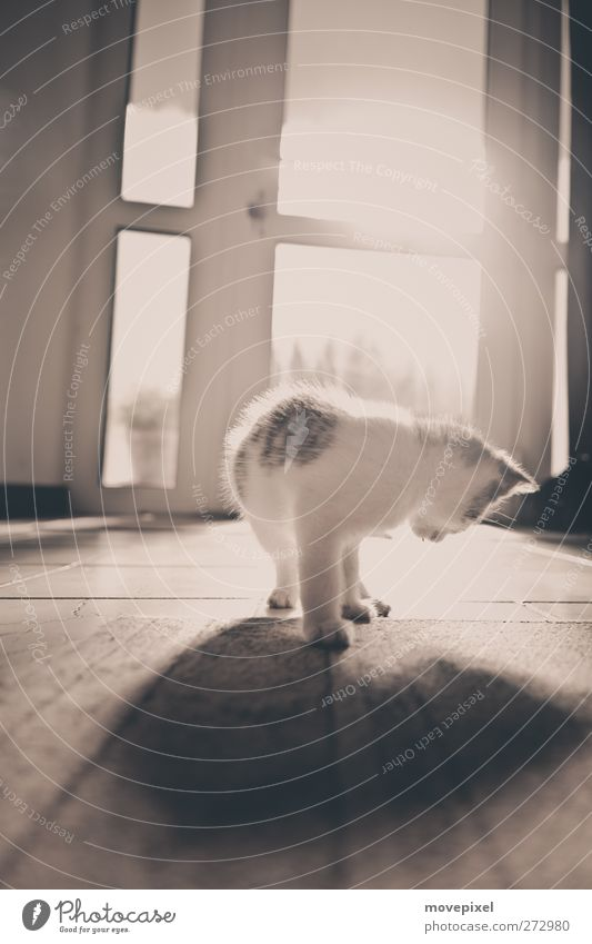 shadow play Animal Pet Cat 1 Baby animal Observe Looking Stand Cuddly Moody Curiosity Interest Shadow play Subdued colour Interior shot Copy Space top