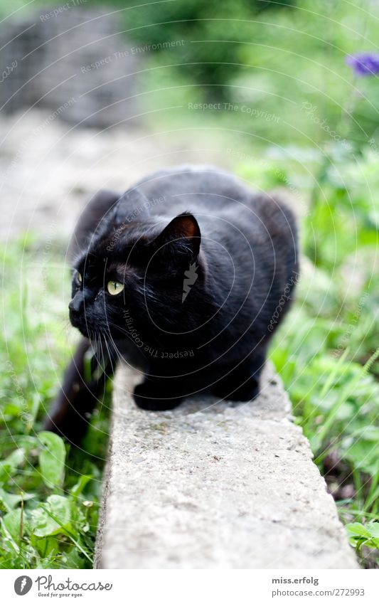 on the wall on the lookout... Environment Nature Earth Plant Pet Cat 1 Animal Observe Authentic Power Life Dangerous Animalistic Black Domestic cat