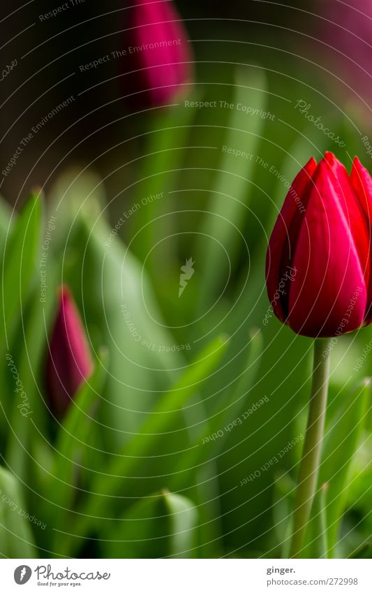 Nature Green Beautiful Plant Red Flower Environment Spring Decoration Stalk Tulip Blossom leave Agricultural crop Gaudy Focal point