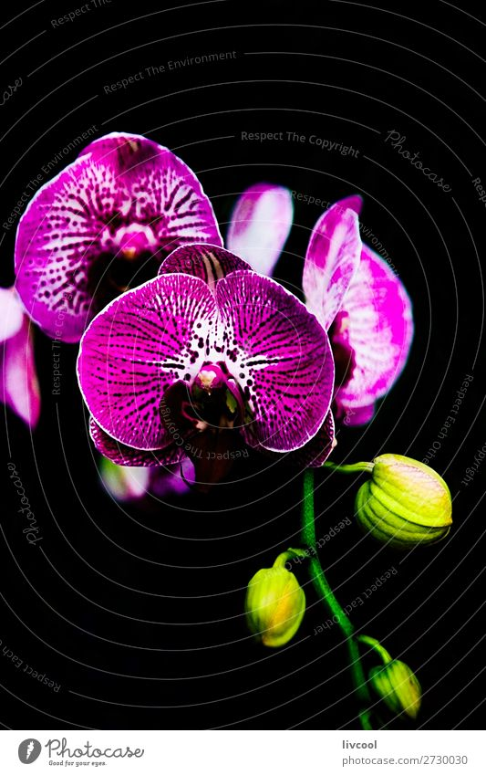 exquisite orchid on black background Beautiful Garden Nature Plant Flower Orchid Blossom Park Dark Yellow Green Pink Black Purple awesome Beauty Photography