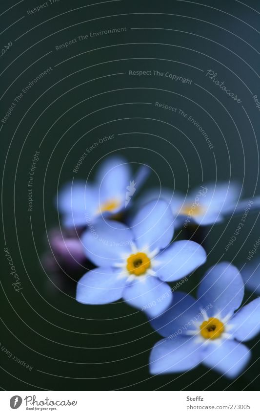 before memories fade Forget-me-not blooming spring flower blue flowers blossom Blossom Blue Decent daintily light blue flowering flower Wild plant Spring flower