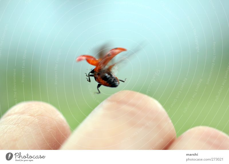 Marie learns to fly Animal Wing 1 Red Ladybird Beetle Flying Floating Hand Garden Departure Small Insect Colour photo Exterior shot Close-up