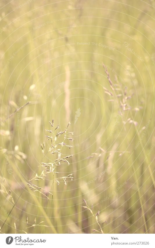 Nature Plant Yellow Meadow Warmth Spring Grass Growth Delicate Grass blossom