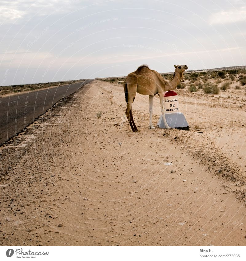 Camelus Dromedarius IIi Nature Landscape Sky Desert Tunisia Means of transport Street Farm animal Dromedary 1 Animal Baby animal Signs and labeling Stand Wait