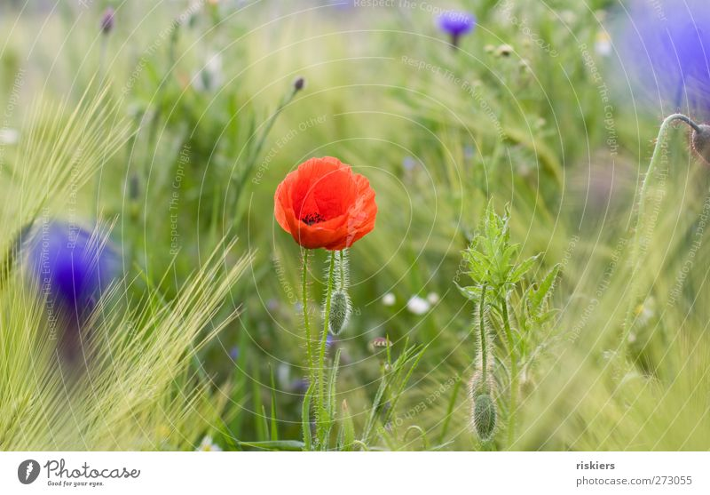 poppy + cornflowers = <3 Nature Spring Summer Plant Flower Field Idyll Colour photo Multicoloured Exterior shot Day Blur