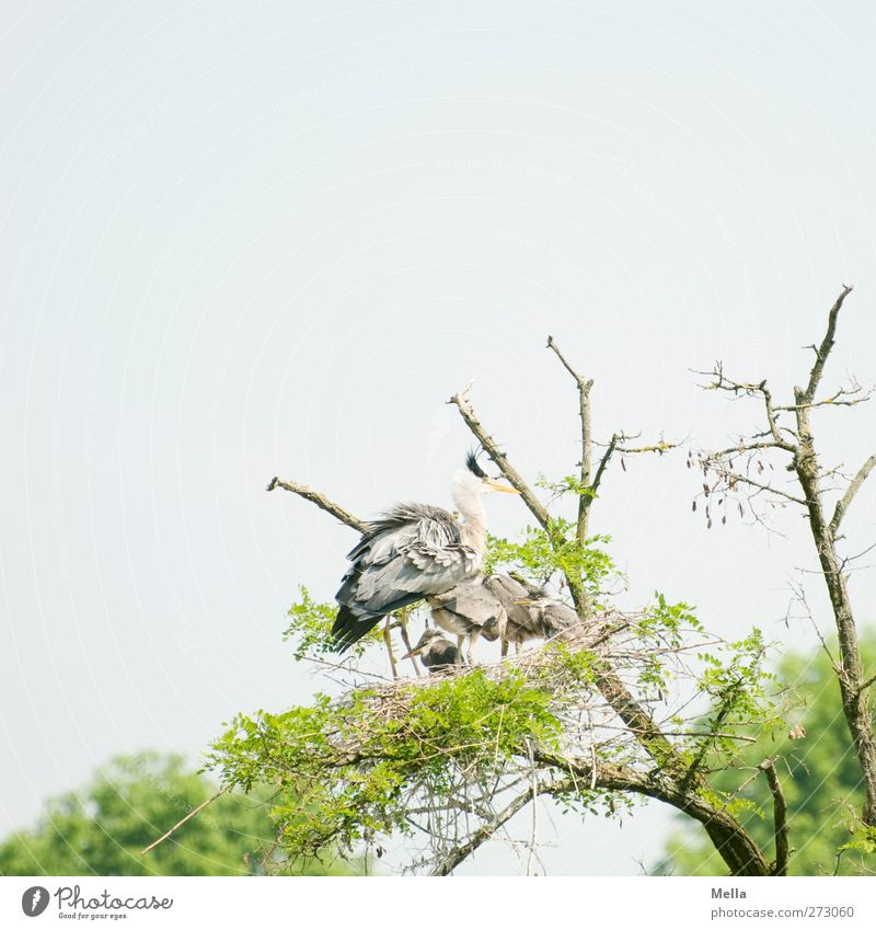 Protect Environment Nature Plant Animal Tree Treetop Branch Wild animal Bird Heron Grey heron Nest Group of animals Animal family Stand Wait Together Natural