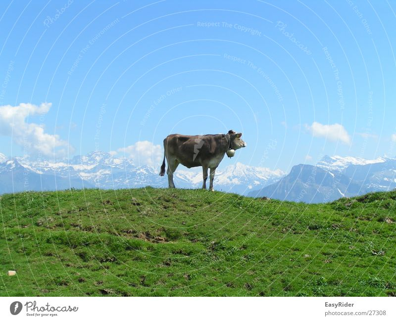Meadow Mountain Large Alps Cow Pasture Bell Cattle