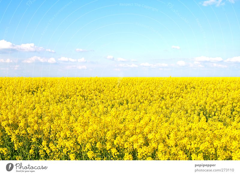 Yellow Sea Grain Far-off places Summer Environment Nature Landscape Plant Sky Clouds Beautiful weather Blossom Agricultural crop Field Blossoming Fragrance