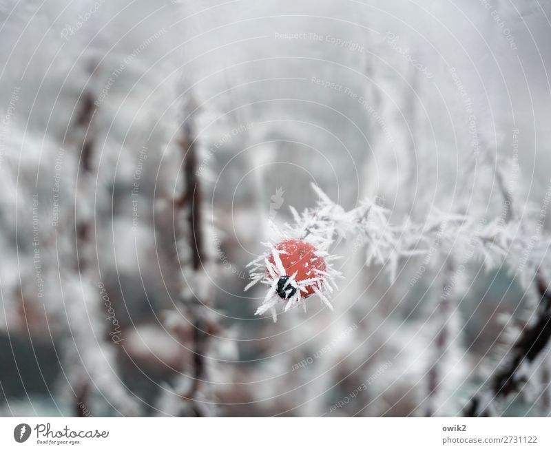 gooseberry Environment Nature Plant Ice Frost Snow Bushes Rose hip Dog rose Ice crystal Hoar frost Fresh Cold Point Thorny Red White Patient Hope Humble Sadness