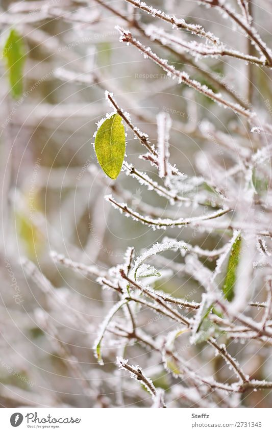 everything freezes Nature Plant Winter Weather Ice Frost Snow Bushes Leaf Wild plant Twig Twigs and branches Hedge Garden Park Freeze Cold Natural Beautiful