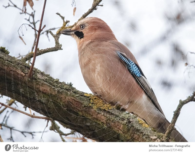 Jay in the tree Nature Animal Sky Sunlight Beautiful weather Tree Twigs and branches Wild animal Bird Animal face Wing Claw Beak Feather Eyes 1 Observe Looking