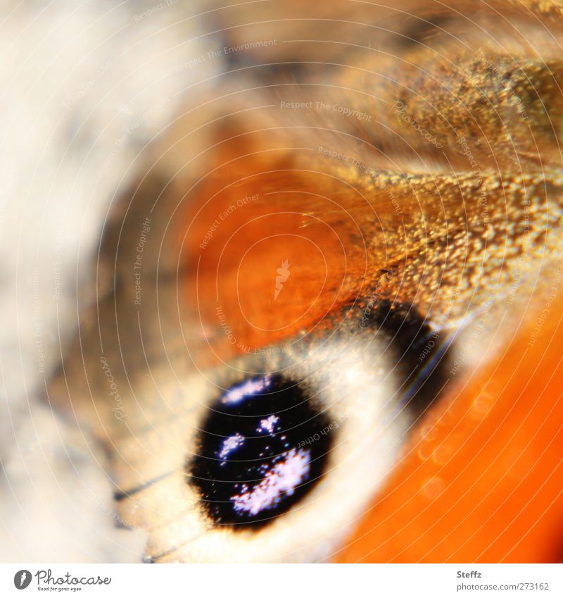 eye Nature Summer Autumn Animal Butterfly Wing Peacock butterfly Browns Eyes Noble butterfly eye stains Near Beautiful Orange Uniqueness Colour Life Ease