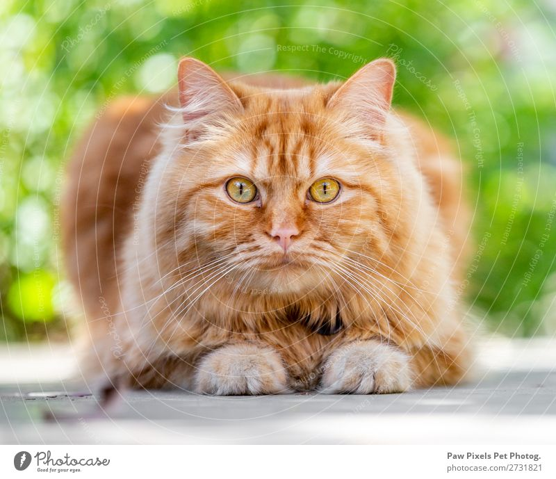 A ginger cat looking at the camera. Animal Pet Cat Pelt Paw 1 Lie Cat eyes Kitten Iris Staring Appetite Majestic Exterior shot Close-up Detail Deserted Morning