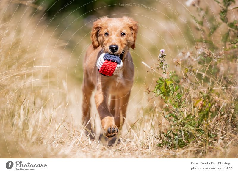 A dog carrying a ball Animal Pet Dog Animal face Paw 1 Baby animal Walking Carrying Blue Yellow Gold Orange Red White Golden Retriever Puppy Grass Colour photo
