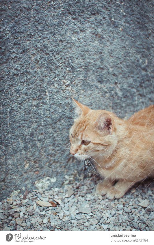 Cat Animal Gray Orange Blonde Lie Wild Concrete Cute Observe Soft Pelt Animal face Pet Paw Cuddly