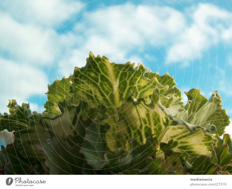 Cabbage and sky Clouds Food Vegetarian diet Blue sky Sky Experimental Nutrition Vegetable