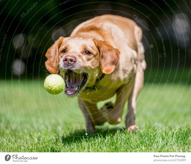 Close up of a a dog catching a ball. Animal Pet Dog Animal face Paw 1 Running Playing Jump Happiness Beautiful Colour photo Exterior shot Close-up Morning Dawn