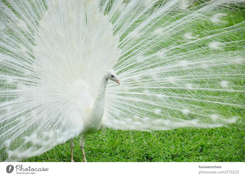 lonely peacock Nature White Green Beautiful Plant Animal Loneliness Leaf Spring Grass Contentment Field Wild animal Natural Elegant Stand