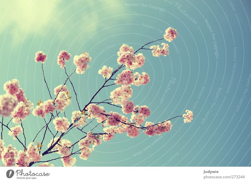 Pink ornament Environment Nature Plant Sky Spring Beautiful weather Tree Blossom Garden Blossoming Growth Free Feminine Blue Spring fever Pure Ornamental cherry