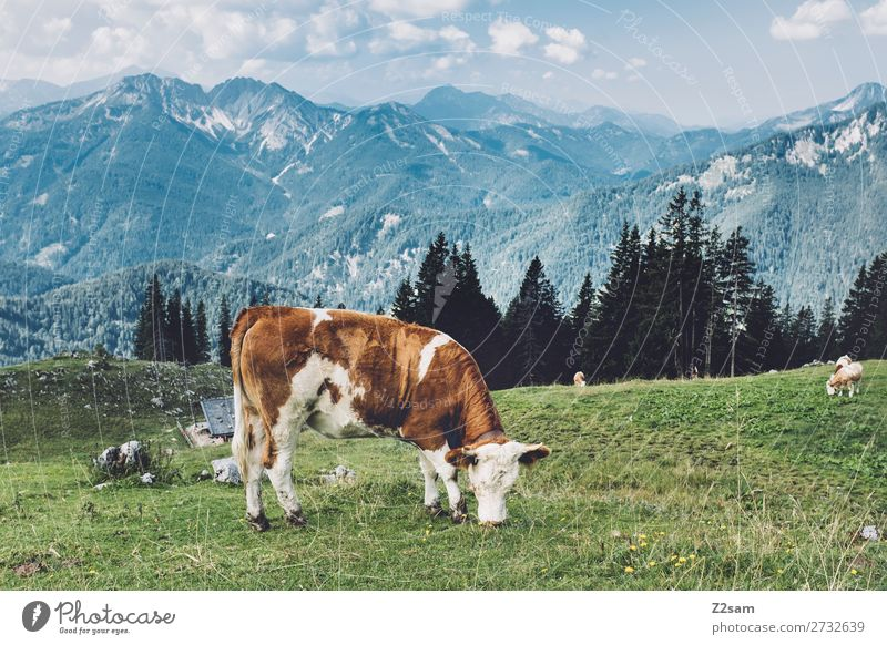 Cow on a Bavarian alpine meadow Hiking Environment Nature Landscape Summer Beautiful weather Meadow Alps Mountain Farm animal To feed Stand Natural Blue Green