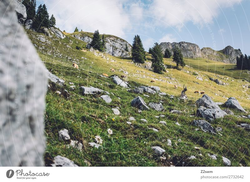 Dairy cows on the Rotwan | Bavaria Hiking Environment Nature Landscape Summer Beautiful weather Rock Alps Mountain Cow Group of animals Fresh Gigantic Tall