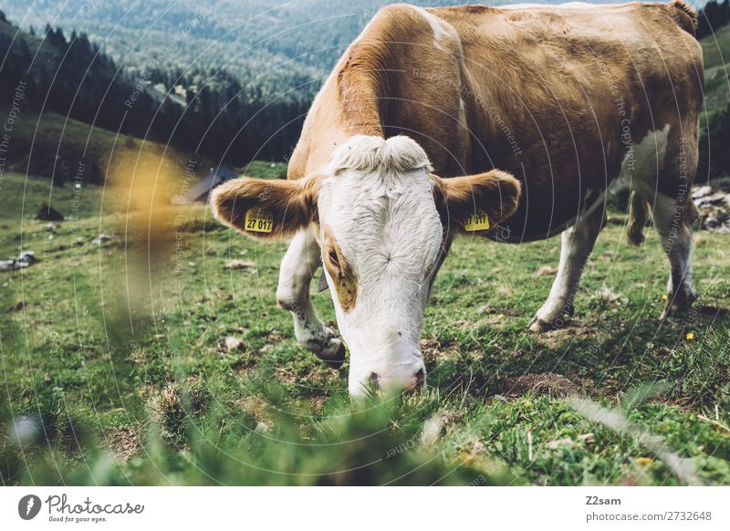 Cow on the Rotwand Upper Bavaria Mountain Hiking Nature Landscape Summer Flower Bushes Meadow Alps Willow-tree To feed Happy Near Natural Brown Green