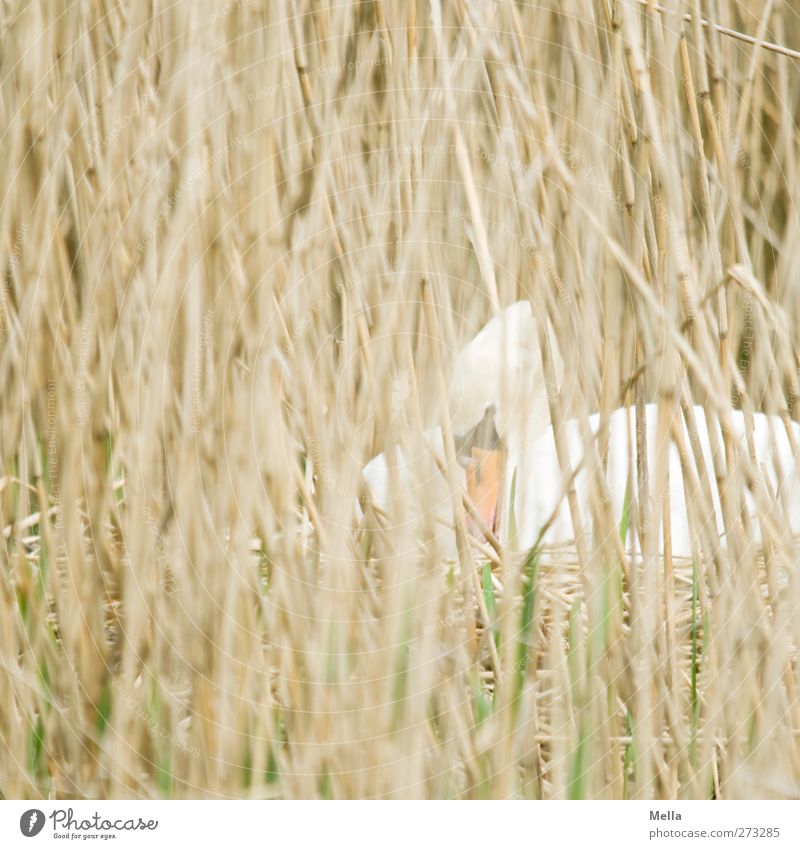 Nature Plant Animal Environment Grass Wild animal Sit Natural Safety Protection Common Reed Hide Blade of grass Build Safety (feeling of) Swan