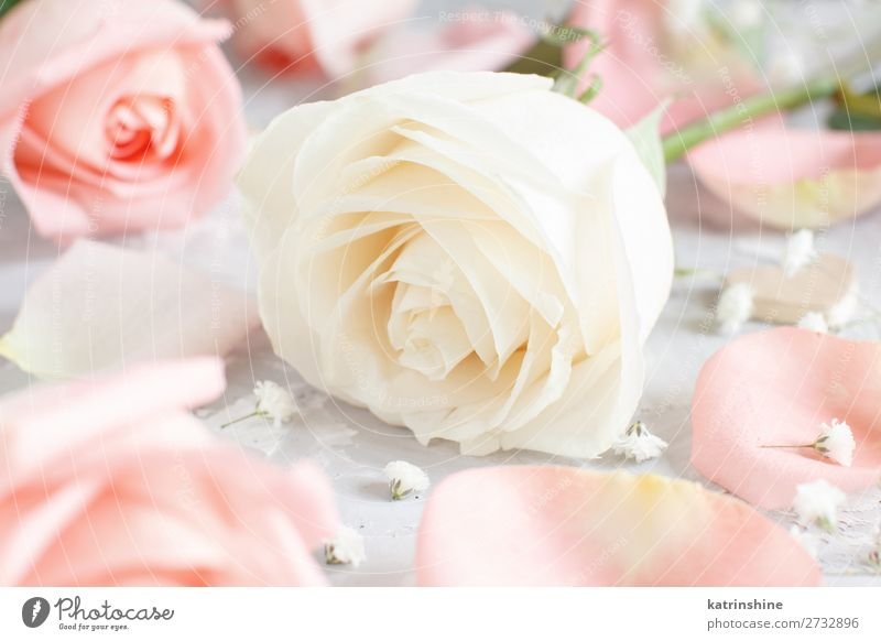 Pink and cream roses with petals Beautiful Decoration Valentine's Day Wedding Woman Adults Flower Rose Blossom Wood Heart Small Neutral pastel romantic