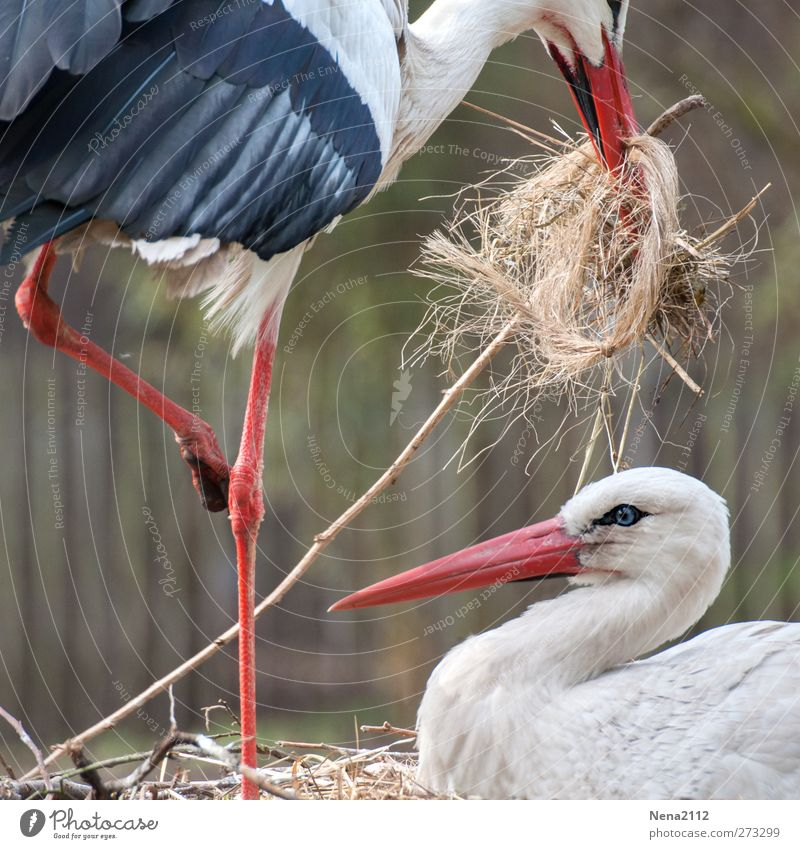 division of labour Nature Animal Spring Wild animal Bird 2 Pair of animals Animal family Build Utilize Stork Bird's eggs Incubating Straw Nest-building