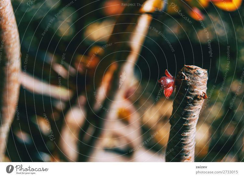 Close-up of a red sprout of aeonium arboreum atroporpurea atropurpurea tree aeonium tree houseleek irish rose crassulaceae subshrubs succulent fleshy leaf