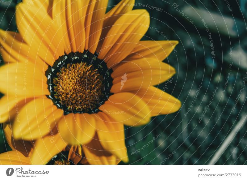 Macro of a yellow flower of gazania rigens treasure flower asteraceae ornamental leaf leaves petals stamens pistils gold black white soft beautiful beauty