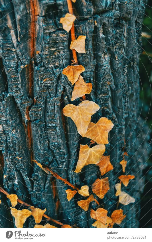 Hedera helix leaf hedera helix common ivy english ivy european ivy araliaceae rampant clinging evergreen vine climbing climbing plant hedera acuta