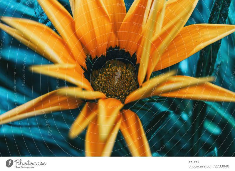 Detail of a yellow flower of gazania rigens treasure flower asteraceae ornamental leaf leaves petals stamens pistils gold black soft beautiful beauty blossom